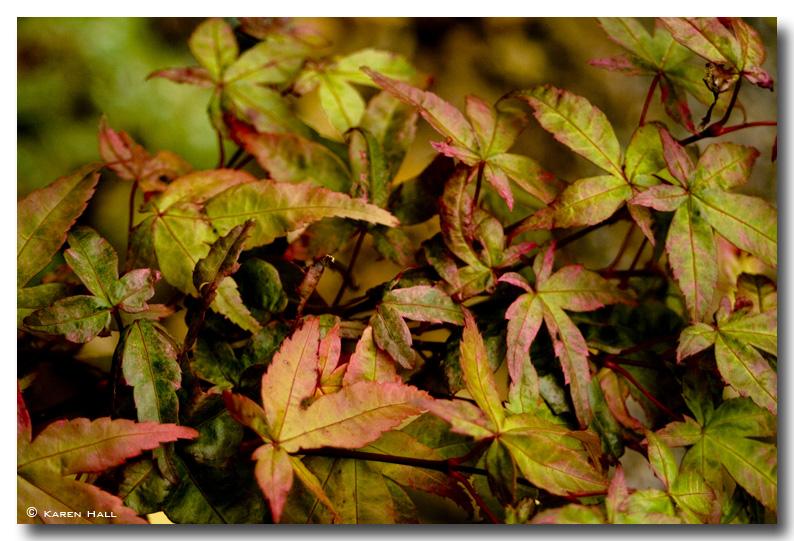 leaves-acer